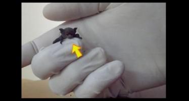 Ρόδος: Βρήκε στο μπαλκόνι της ένα μωρό νυχτερίδα (εικόνες)