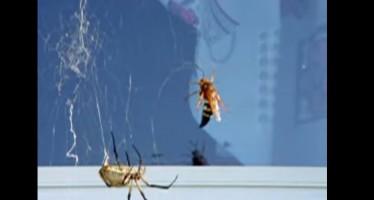 Μια αράχνη εναντίον γιγάντιας σφήκας…άνιση μάχη (vid)