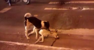VIDEO: Σκύλος προσπαθεί να βοηθήσει τον νεκρό του φίλο!