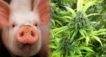 4 Ζώα που τους αρέσουν τα ναρκωτικά!