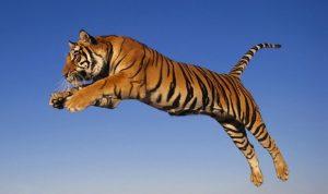 tigris epikindina zoa