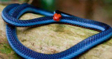 Το πιο δηλητηριώδες φίδι του κόσμου μπορεί να σώσει ζωές!