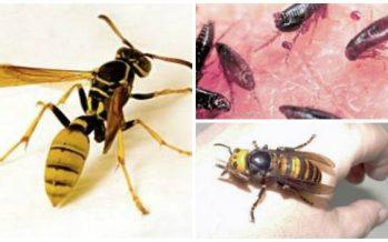 Τα 10 πιο θανατηφόρα έντομα του κόσμου!