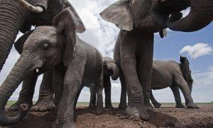 faghto o elefantas sth notio afriki