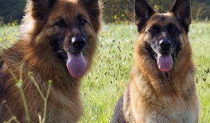 Οι 10 εξυπνότερες ράτσες σκύλων!