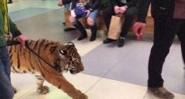 Ρώσος έβγαλε βόλτα στο εμπορικό την τίγρη του!