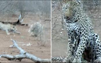 Λεοπάρδαλη πήρε ένα επίπονο μάθημα από σκαντζόχοιρο!