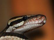 Περίεργο φίδι τρελάθηκε και σκότωσε τον εαυτό του!