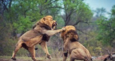 50 Ακραίες μάχες ζώων που πρέπει να δεις!