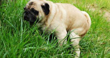 Γιατί οι σκύλοι στριφογυρίζουν πριν κάνουν την ανάγκη τους;