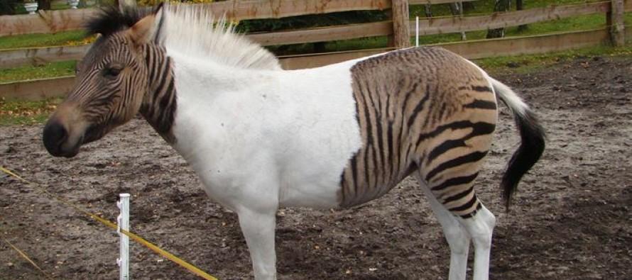 10 Περίεργες διασταυρώσεις ζώων που πράγματι υπάρχουν!