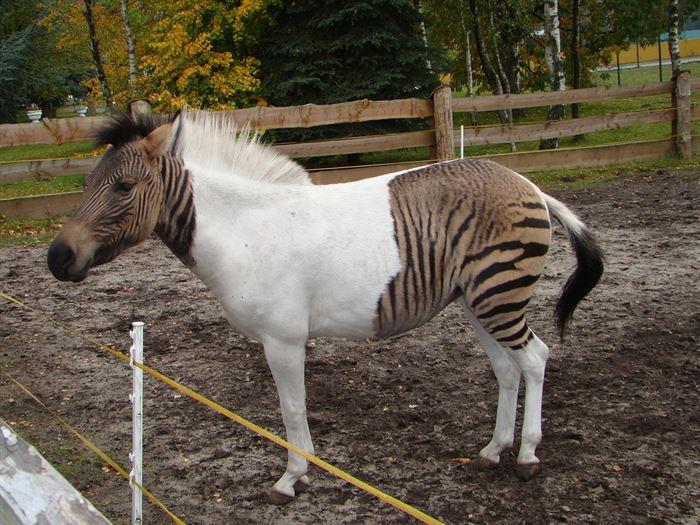 Περίεργες διασταυρώσεις ζώων Είτε στη φύση, είτε με τη βοήθεια της επιστήμης έχουν γίνει περίεργες διασταυρώσεις ζώων που πράγματι μας εκπλήσσουν. Φυσικά δεν εννοούμε τις διασταυρώσεις ζώων που είναι προϊόν Photoshop όπως για παράδειγμα σκύλος-πουλί, αλλά τις πραγματικές. Πανέμορφα υβρίδια ζώων έχουν προκύψει και 11 από αυτά θα δείτε στις εικόνες.Είτε στη φύση, είτε με τη βοήθεια της επιστήμης έχουν γίνει περίεργες διασταυρώσεις ζώων που πράγματι μας εκπλήσσουν. Φυσικά δεν εννοούμε τις διασταυρώσεις ζώων που είναι προϊόν Photoshop όπως για παράδειγμα σκύλος-πουλί, αλλά τις πραγματικές. Πανέμορφα υβρίδια ζώων έχουν προκύψει και 11 από αυτά θα δείτε στις εικόνες.Είτε στη φύση, είτε με τη βοήθεια της επιστήμης έχουν γίνει περίεργες διασταυρώσεις ζώων που πράγματι μας εκπλήσσουν. Φυσικά δεν εννοούμε τις διασταυρώσεις ζώων που είναι προϊόν Photoshop όπως για παράδειγμα σκύλος-πουλί, αλλά τις πραγματικές. Πανέμορφα υβρίδια ζώων έχουν προκύψει και 11 από αυτά θα δείτε στις εικόνες.