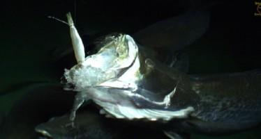 Πως τρώει ένα ψάρι σε Slow Motion!
