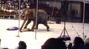 tyke elefantas