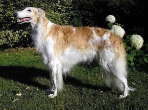 Borzoi (Russian Wolfhound)