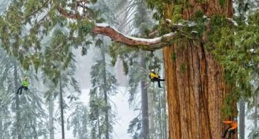 Βρέθηκε δέντρο 3.200 χρόνων (Βίντεο+Φωτογραφίες)