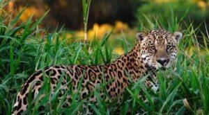 jaguar-drugs