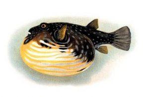 pufferfish-kizeniko-dhlhthrio