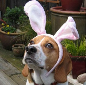 ratses skilon Beagle