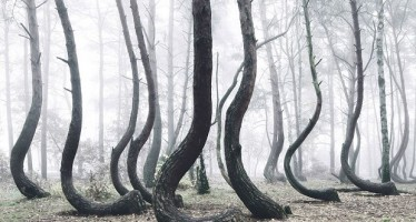 Μυστηριώδες δάσος με 400 στραβά δέντρα ερευνούν οι επιστήμονες!