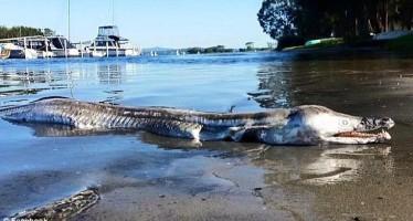 Περίεργο θαλάσσιο πλάσμα ξεβράστηκε στην Αυστραλία!