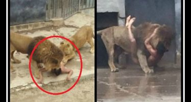 20χρονος προσπάθησε να ταΐσει τον εαυτό του στα λιοντάρια!