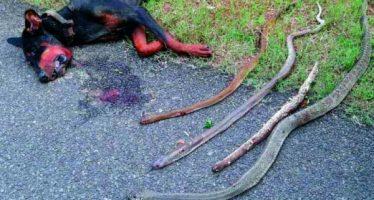Ντόμπερμαν σκοτώθηκε από 4 κόμπρες σώζοντας την οικογένεια του!