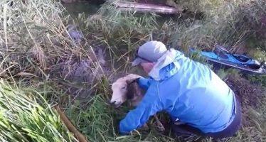 Καγιάκερς έσωσαν πρόβατο από τον ποταμό Τάμεση!