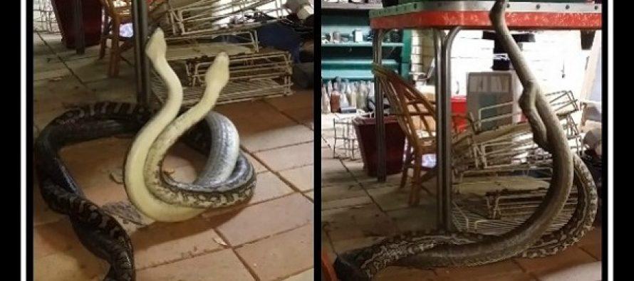Αυστραλός βρήκε 2 πύθωνες να παλεύουν στην κουζίνα του!
