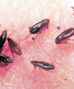psilloi-thanasimo-entomo-top2