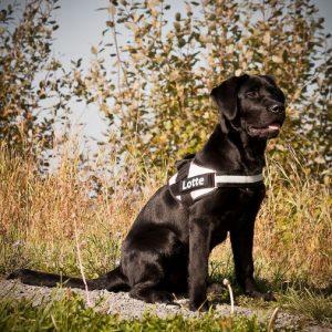 Labrador Retriever xaraktiristika