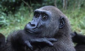 gorillas eidos pros eksafanisi fagito gia tous afrikanous