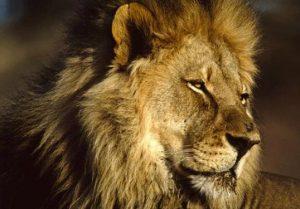 afrikaniko liontari
