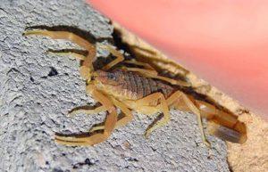 deathstalker skorpios