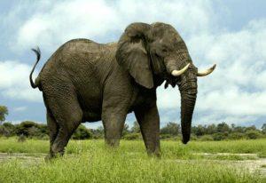 elefantas megalytero zwo