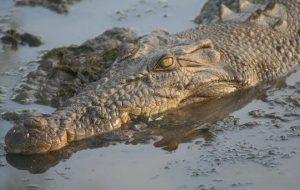 krokodeilos almyrou nerou