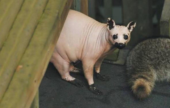 paraksenes ikones Raccoon