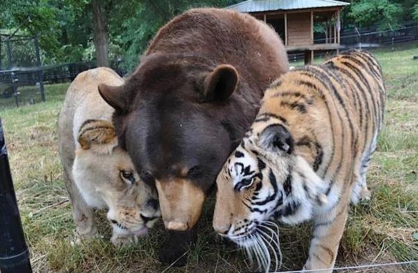 arkouda tigris liontari photo