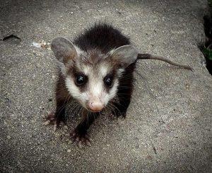 mikro possum