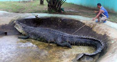 Οι 2 μεγαλύτεροι κροκόδειλοι που έχουν πιαστεί ζωντανοί!