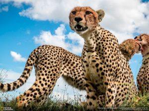 leopardalis fotografies