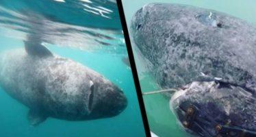 Απίστευτο: Βρέθηκε καρχαρίας 512 ετών!