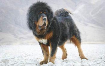Οι 7 πιο ακριβές ράτσες σκύλων του κόσμου!