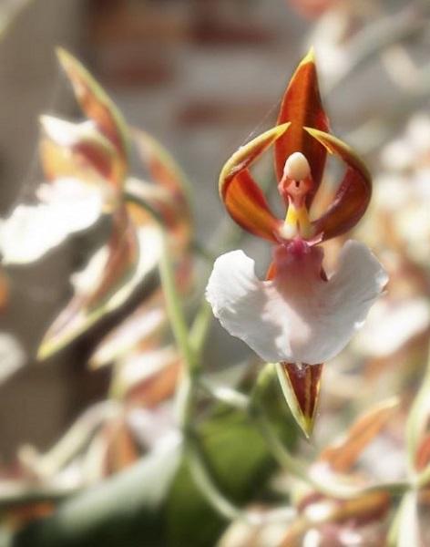 orxidea mpalarina
