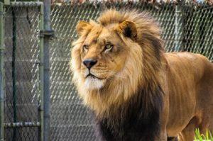 liontari zoologikos kipos