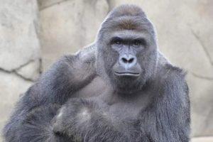 megalos gorilas