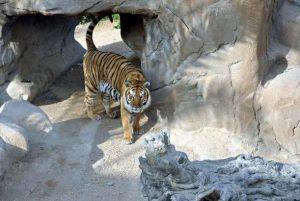 tigris zoologikos kipos