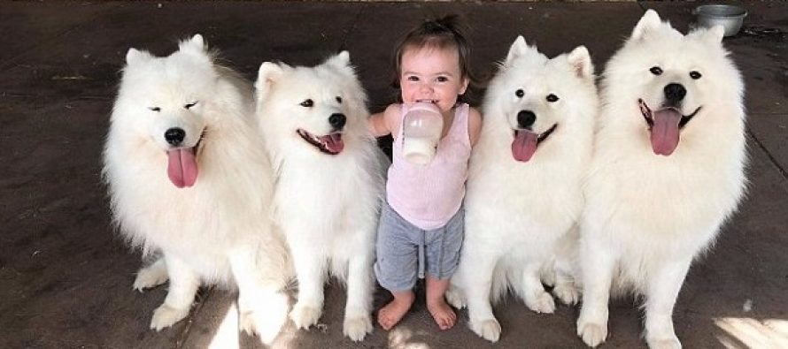 4 Σαμογιέντ σκυλιά βοήθησαν οικογένεια να μεγαλώσει τα παιδιά της!