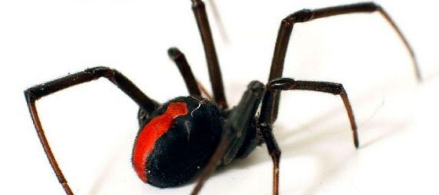 Οι 10 πιο επικίνδυνες αράχνες στον κόσμο!