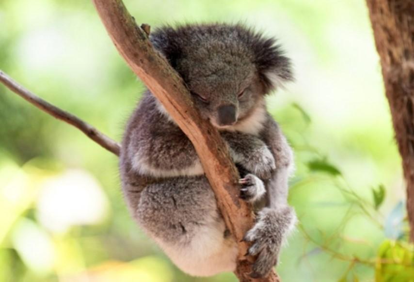 negennito koala